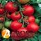 Семена томата Толстой F1 - фото 6748