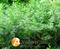 Семена укропа Ройал Дилл 500 г (ANSEME) - фото 6768