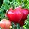 Томат Пуркарский Розовый - фото 6920