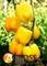 Семена перца Бачата F1 100 шт - фото 6948