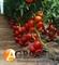 Семена томата Чинто F1 100 шт - фото 7018