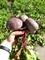 Семена свеклы Детройт CLAUSE - фото 7049