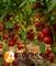 Семена томата Мамстон F1 - фото 7057