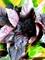Семена базилика Философ 50 г (Гавриш) - фото 7100