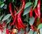 Семена перца горького Шакира F1 500 шт - фото 7287