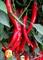 Семена перца  горького Хайфи F1 500 шт - фото 7298