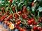 Семена томата Джадело F1  500 шт - фото 7379