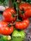 Семена томата Панекра F1 500 шт - фото 7422