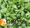 Семена шпината Рембрандт F1 - фото 7447
