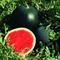 Семена арбуза Ред Стар  F1 1000 шт - фото 7505