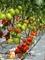 Семена томата Колибри F1 250 шт - фото 7550