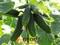 Семена огурца Амант F1 - фото 7552