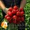 Семена редиса Виенна F1 - фото 7555