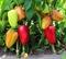 Семена перца Яника F1 - фото 7624