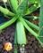 Семена кабачка Ангелина F1 - фото 7677