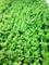 Семена укропа Аллигатор 100 г (калибр.) - фото 7723