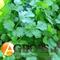 Семена кориандра Марино  - фото 7826