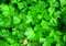 Семена петрушки Аргон 250 г - фото 7828