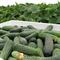 Семена огурца Спарта F1 1000 шт - фото 8040