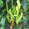 Семена перца горького ES 8716 F1 100 шт - фото 8044