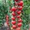 Семена томата - черри Сакура F1 250 шт - фото 8106