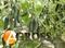 Семена огурца Северин F1 500 шт - фото 8107
