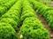 Семена салата Илема  - фото 8113