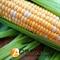 Семена кукурузы Мраморная F1 - фото 8134