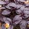 Семена базилика Ред Рубин (MoravoSeed) 50 г - фото 8138