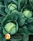 Семена капусты Галакси F1 2500шт - фото 8142