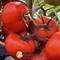 Семена томата Тобольск F1 - фото 8162