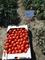 Семена томата Чезена F1 1000 шт - фото 8205